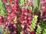 Calluna vulgaris Dark Beauty - Sommerheide Dark Beauty