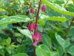 Lonicera tatarica Hacks Red - Tatarische Heckenkirsche Hacks Red