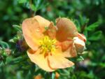 Potentilla fruticosa Sunset - Potentilla Sunset