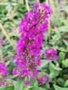 Buddleja Red Chip - Sommerflieder Red Chip