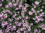 Erica carnea Winter Beauty - Winterheide Winter Beauty