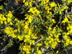 Genista pilosa Vancouver Gold - Sandginster Vancouver Gold