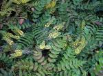 Mahonia Winter Sun