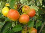 Malus Hybride Butterball