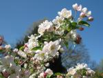 Malus Hybride Evereste