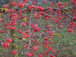Malus Hybride Red Sentinel