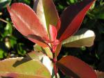 Photinia fraseri Red Robin - Rote Glanzmispel