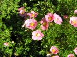Potentilla fruticosa Lovely Pink ® - Fingerstrauch Lovely Pink ®