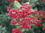 Pyracantha Red Column - Feuerdorn Red Column