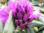 Rhododendron Hybr. Lee´s Dark Purple - Alpenrose Lee´s Dark Purple