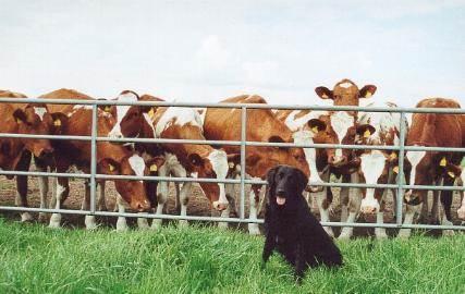 Cleo & die Kühe