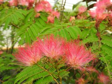 Albizia julibrissin Umbrella
