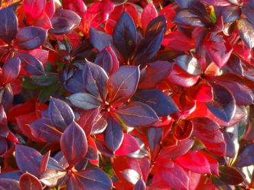 Berberis media Red Jewel