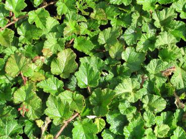 Rubus calycinoides Betty Ashburner