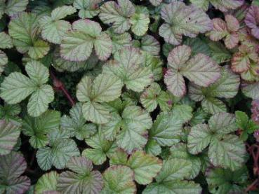Rubus tricolor Green Wave
