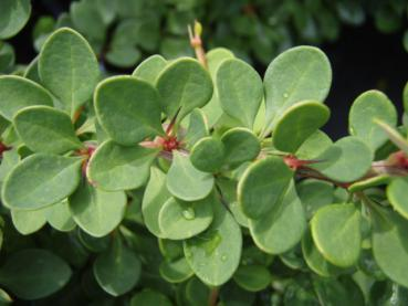 Mattberberis, Berberis thunbergii Green Carpet
