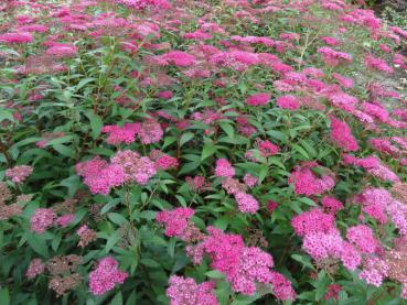 Spiraea japonica Anthony Waterer