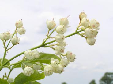 Staphylea pinnata - Pimpernuss