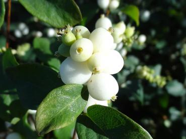 Symphoricarpos albus White Hedge - Schneebeere White Hedge