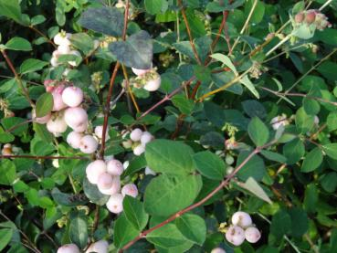 Symphoricarpos doorenbosii Mother of Pearl