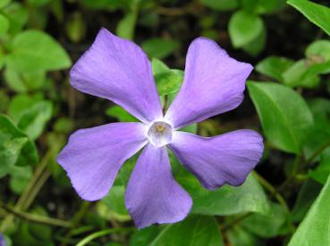 Stor vintergröna, Vinca major