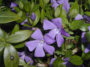 Lilablühende Vinca minor