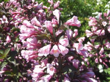 Weigela florida Purpurea