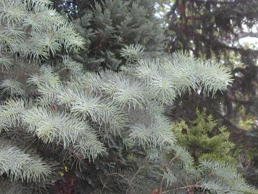 Abies concolor - Coloradotanne