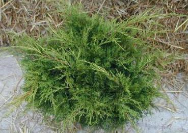 Juniperus media Old Gold - Pfitzer-Wacholder Old Gold