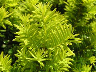 Taxus baccata Washingtonii
