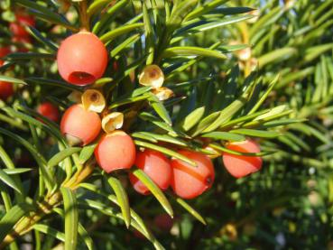 Taxus media Hicksii - Becher-Eibe