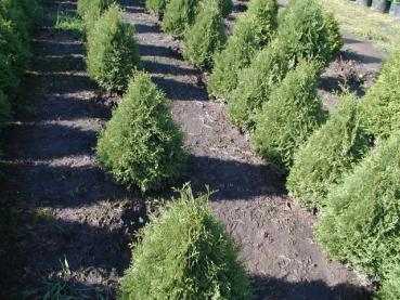 Thuja occidentalis Holmstrup - Kegel-Lebensbaum
