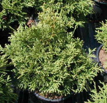 Thuja occidentalis Pygmea