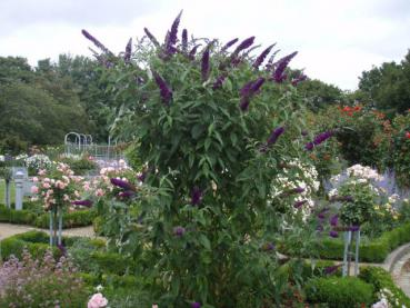 Buddleja Royal Red