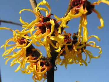 Hamamelis Orange Beauty - Zaubernuss Orange Beauty
