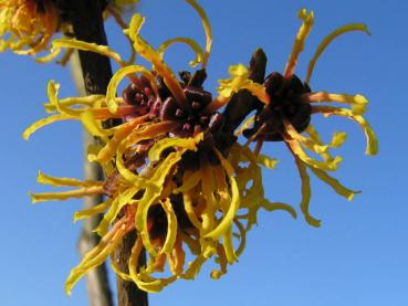 Hamamelis Orange Beauty in Blüte
