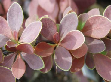 Berberis thunbergii Golden Ring