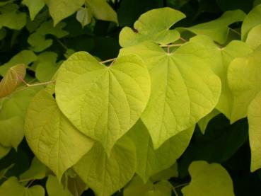 Cercis canadensis Hearts of Gold - Gold-Judasbaum