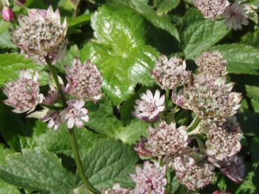 .Astrantia major - Sterndolde