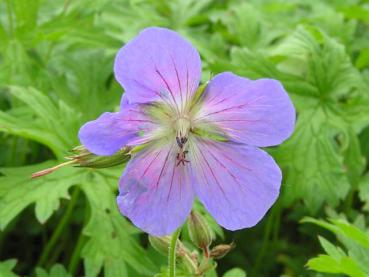 .Geranium pratense Johnsons Blue - Storchschnabel Johnsons Blue