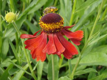 .Helenium Moerheim Beauty