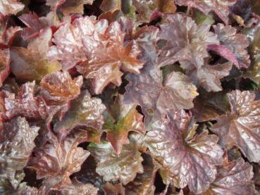 .Heuchera micrantha Palace Purple