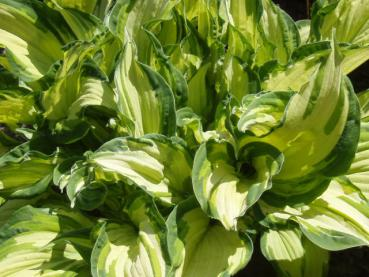 .Hosta fortunei Albopicta