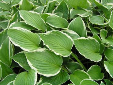 .Hosta fortunei Francee