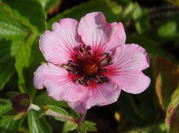 .Potentilla nepalensis Miss Willmott