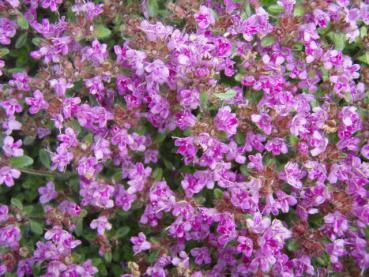 .Thymus serpyllum Magic Carpet - Feld-Thymian Magic Carpet