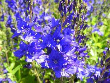 Veronica teucrium Royal Blue