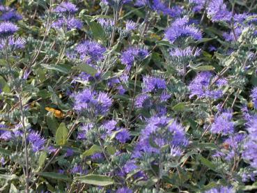 Caryopteris clandonensis Heavenly Blue - Bartblume Heavenly Blue