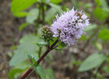 .Mentha piperita - Pfefferminze