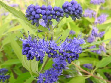 Caryopteris clandonensis Worcester Gold